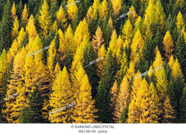Autumnal colored mountain forest with larch trees, Cadore, Misurina, Belluno District, Veneto, Dolomites, Italy, Europe
