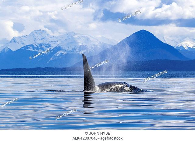 An Orca Whale (Killer Whale) (Orcinus orca) surfaces near Juneau, Lynn Canal, Chilkat Mountains, Inside Passage; Alaska, United States of America