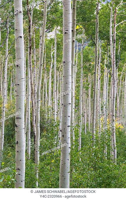 Aspen trees along Route 82 near Aspen in the Rocky Mountains in Central Colorado