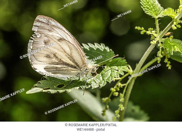 Germany, Saarland, Bexbach - A green-veined white is sitting on a leaf