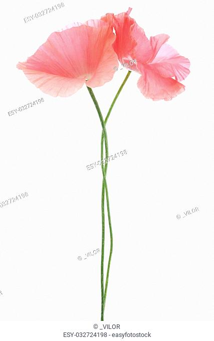 Studio Shot of Pink Colored Poppy Flowers Isolated on White Background. Large Depth of Field (DOF). Macro. Symbol of Sleep, Oblivion and Imagination