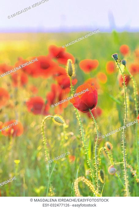 poppy wild flowers spring season