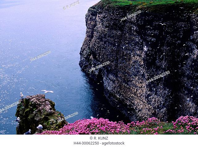 Black-legged Kittiwake, Rissa tridactyla, Laridae, adult, Gull, breeding area, in rockface, bird animal, Fowlsheugh nature reserve, Scotland, Great Britain