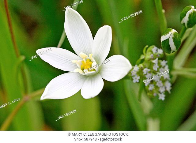 Pyrenes Star of Bethlehem, Ornithogalum umbellatum, Caryophyllaceae  Sleepydick  Small white wild flower  Toxic plant  Listed in US agriculture as noxious weed...