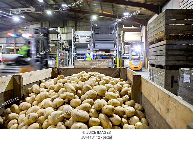 Workers in factory behind bin of fresh harvested potatoes