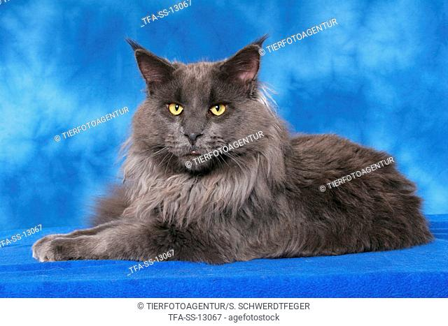 lying Maine Coon tomcat