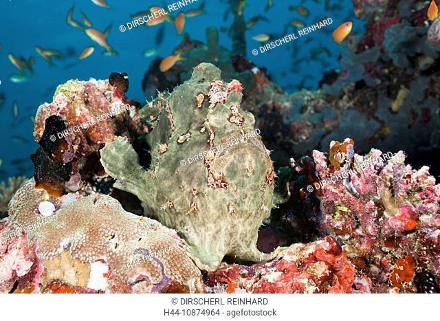 Grüner Riesen-Anglerfisch, Antennarius commersonii, Nord Ari Atoll, Malediven, Green Giant Frogfish, Antennarius commersonii, North Ari Atoll, Maldives