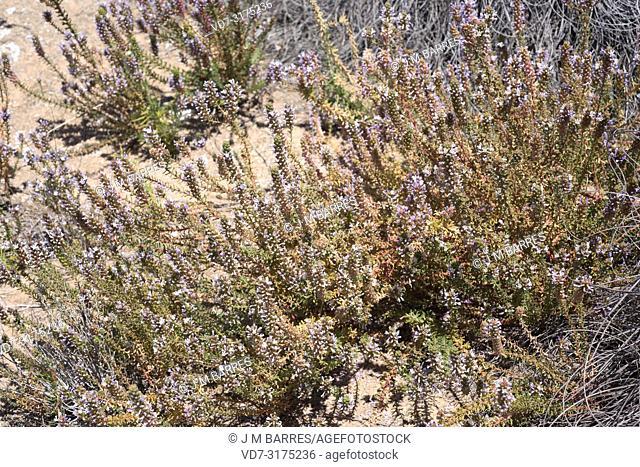 Coris hispanica is a subshrub endemic to Almeria and Granada. This photo was taken in Sorbas (Karst en yesos), Almeria province, Andalucia, Spain