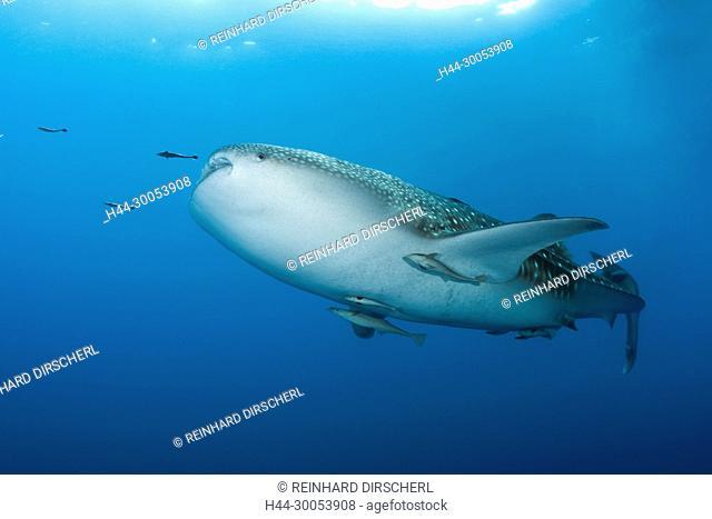 Whale Shark, Rhincodon typus, Christmas Island, Australia
