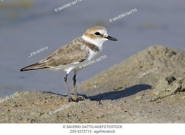 Kentish Plover (Charadrius alexandrinus), adult female standing on the mud in Oman