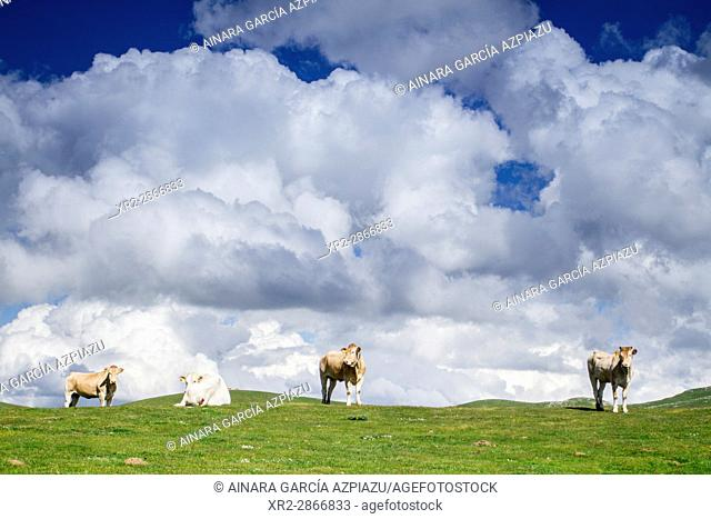 Cows in the mountain, near Txindoki, Gipuzkoa, Basque Country