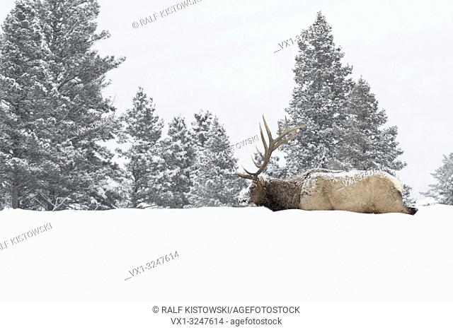 Elk / Wapiti ( Cervus canadensis ), bull in winter during snowfall, walking through deep snow, in typical surrounding, Yellowstone NP, Wyoming,USA.