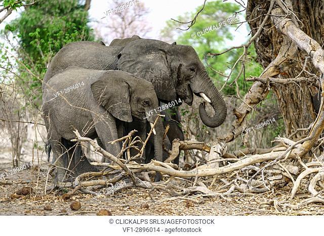 Adult elephant with young one. Mahango Game Reserve, Bwabwata National Park, Kavango, Namibia