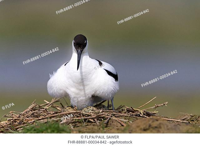 Eurasian Avocet (Recurvirostra avosetta) adult, settling on eggs, Suffolk, England, May