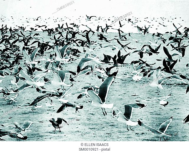 Large flock of seagulls circling around and landing on a beach