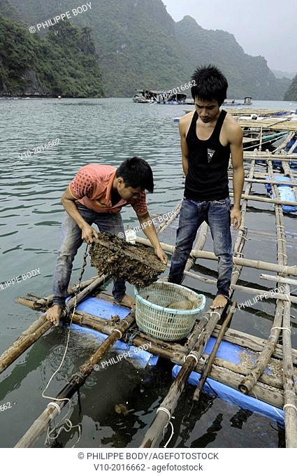 Vietnam, Ha Long bay a World heritage site of UNESCO, fishing and oyster farm in the bay