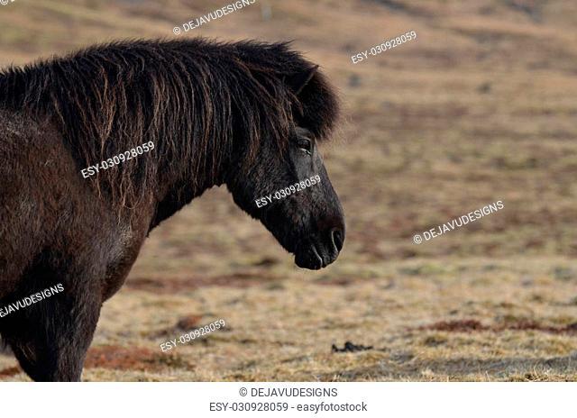 Beautiful black Icelandic horse profile