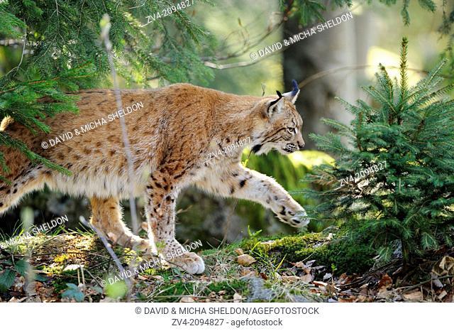Close-up of a Eurasian lynx (Lynx lynx) walking through the forest