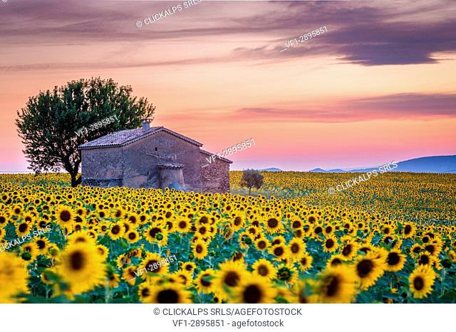 Sunflowers field in Valensole, Provence. France