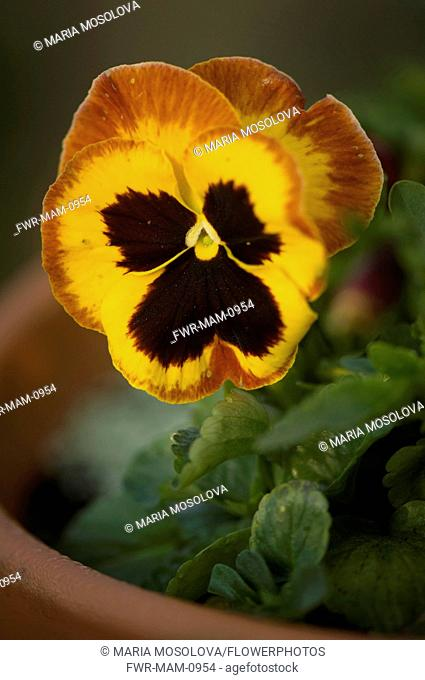 Pansy, Viola x wittrockiana. Single flower of deep yellow colour edged in reddish brown and with black at centre
