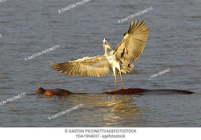 Grey Heron (Ardea cinerea), fishing on the Hippopotamus back (Hippopotamus amphibius). The grey herons feel more confidence on the hippopotamus in case a...