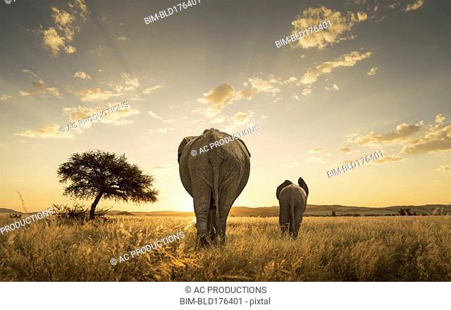 Elephant and calf grazing in savanna field