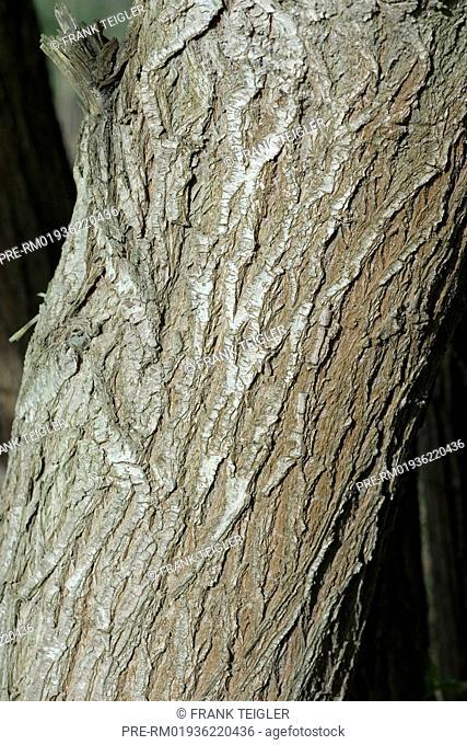Weeping Willow, Salix x chrysocoma / Trauerweide, Salix x chrysocoma