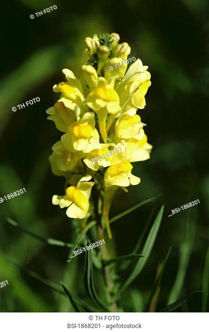 TOADFLAX<BR>Linaria vulgaris