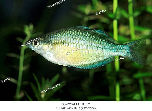 Dwarf Neon Rainbowfish female Melanotaenia praecox side