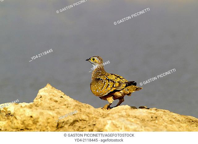 Namaqua Sandgrouse (Pterocles namaqua), in the waterhole, Mabuasehube, Kgalagadi Transfrontier Park, Kalahari desert, Botswana