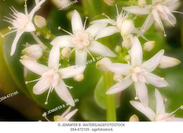 Jade Plant. Crassula argentea. Crassulaceae. Soft Focus. Gaiser Conservatory, Manito Park, Spokane, Washington, USA