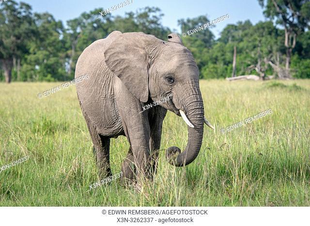 An African bush elephant (Loxodonta africana), aka African savanna elephant looks at the camera in Maasai Mara National Reserve , Kenya