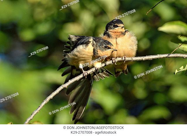 Barn swallow (Hirundo rustica) Fledglings out of the nest waiting to be fed by parent bird, Buffalo Pound Provincial Park, Saskatchewan, Canada