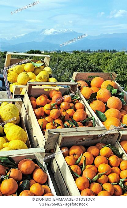 Mandarins, oranges and lemons in the plain of Sibari, in the background the massif of Pollino, Sibari, District of Cosenza, Calabria, Italy, Europe