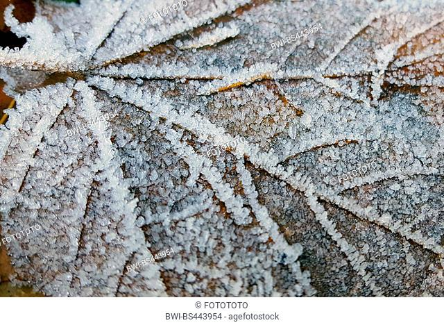 maple (Acer spec.), maple leaves with hoarfrost on the ground, Germany