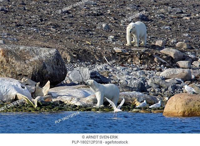 Two Polar bears (Ursus maritimus / Thalarctos maritimus) feeding on carcass of stranded dead whale along the Svalbard coast, Spitsbergen, Norway