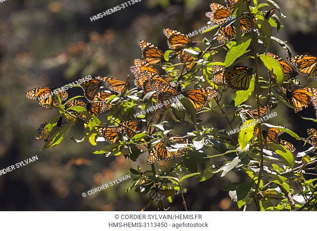 Mexico, State of Michoacan, Angangueo, Monarch Butterfly Biosphere Reserve El Rosario, monarch butterfly (Danaus plexippus), Foraging on flowers