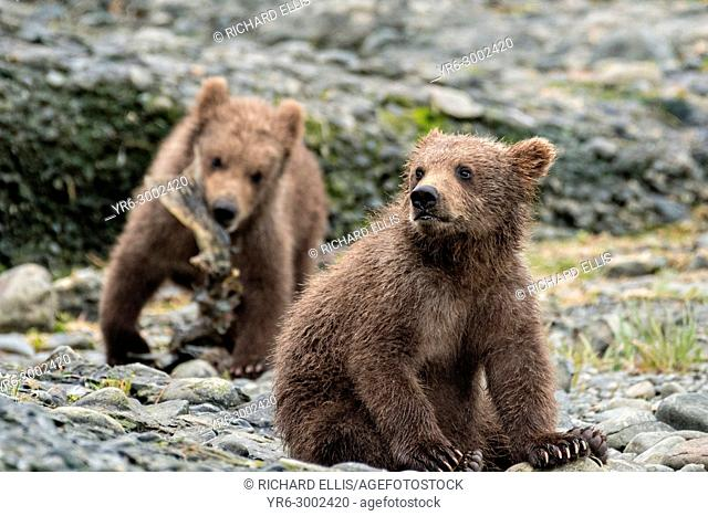 Brown bear spring cubs play along the lower lagoon at the McNeil River State Game Sanctuary on the Kenai Peninsula, Alaska