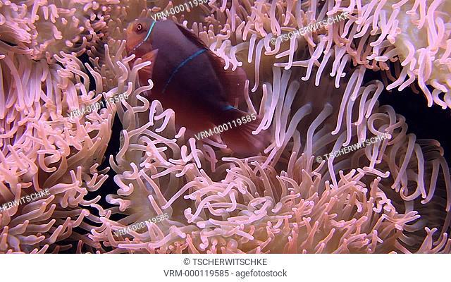 Anemone fish, Anemone