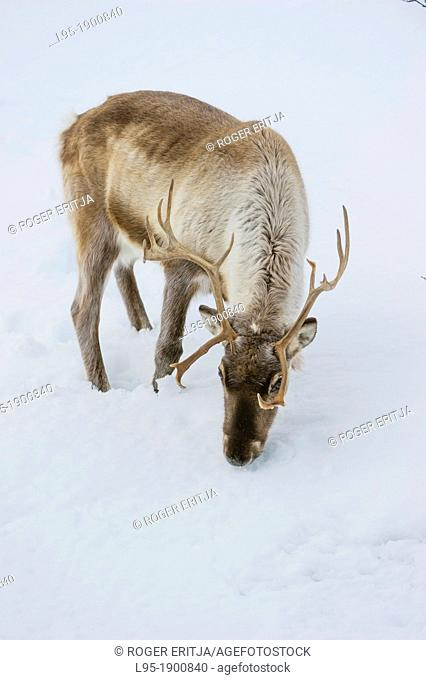 Scandinavian Reindeer Rangifer tarandus cattle looking for some food in winter under the snow, Tromso area, Norway