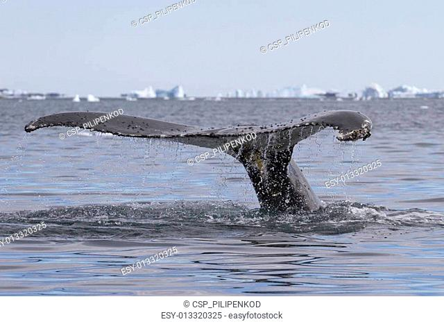 humpback whale tail diving in waters