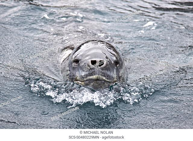 The Leopard seal Hydrurga leptonyx is the second largest species of seal in the Antarctic after the Southern Elephant Seal
