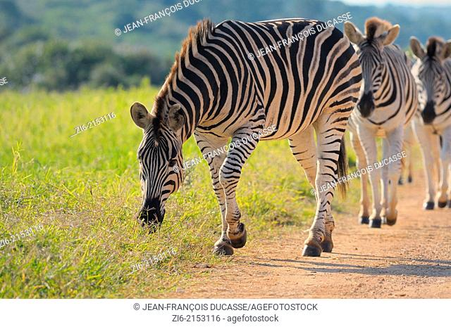 Burchell's zebras (Equus burchelli), walking slowly along the gravel road, in single file, Addo Elephant National Park, Eastern Cape, South Africa, Africa