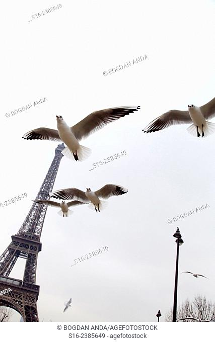 Paris, France - Cute seagulls flying around the banks of river Seine, close to the Eiffel Tower