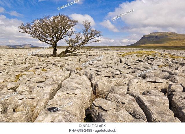 Tree growing through the limestone of White Scars, Ingleton, Yorkshire Dales National Park, Yorkshire, England, United Kingdom