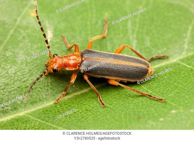 A Soldier Beetle (Podabrus tomentosus) perches on a leaf