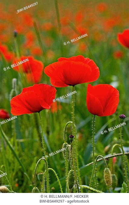 Common poppy, Corn poppy, Red poppy (Papaver rhoeas), in a cornfield, Germany