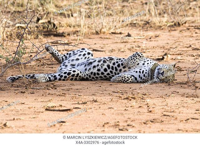 Cheerful leopard, Okonjima Nature Reserve, Namibia
