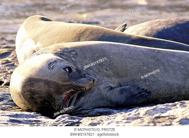 southern elephant seal (Mirounga leonina), female threatening, Argentina, Valdez Peninsula