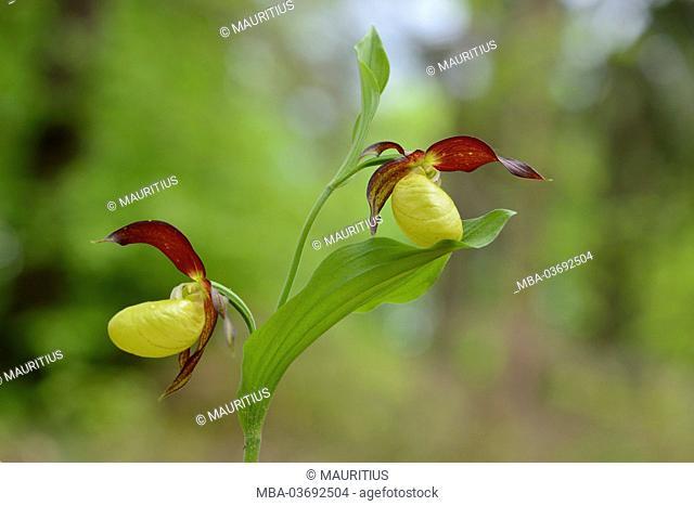 (Yellow) lady's slipper, Cypripedium calceolus, blossoms